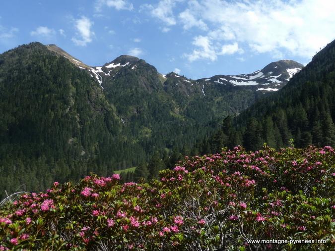 Rhododendrons ferrugineux en vallée de Rioumajou - Hautes-Pyrénées