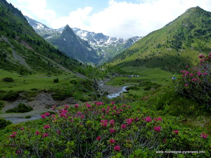 Rhododendrons ferrugineux en vallée du Moudang - Pyrénées