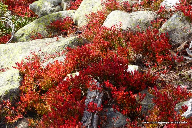 myrtille rousse à Aubert néouvielle Pyrénées