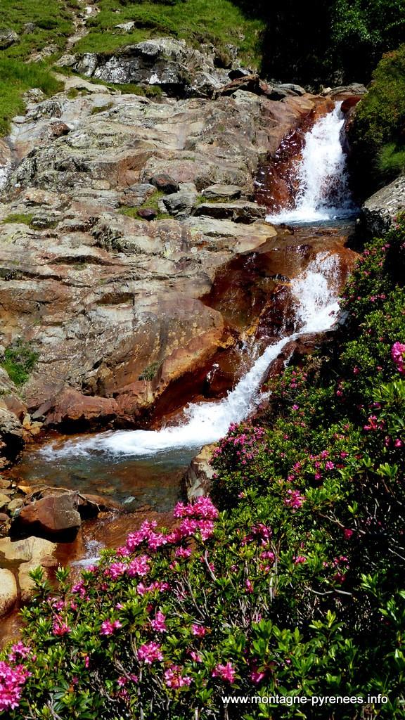 rhododendrons ferrugineux en vallée du Moudang