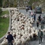 Transhumance de moutons en vallée d'Aure