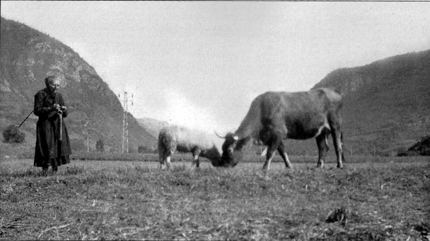 Les vaches et la tricoteuse